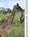 塞倫蓋蒂國家公園 動物 野生動物 39200593