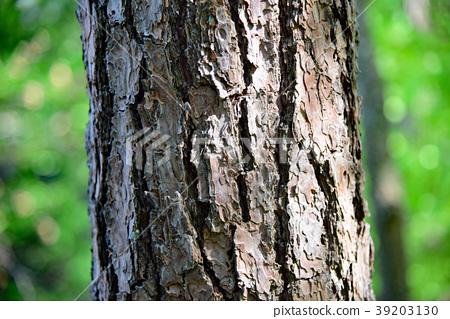 南欧黑松 树干 茎 39203130