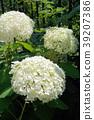 만개의 애나벨 (연두색 ~ 흰색 ~ 또한 녹색에) 39207386