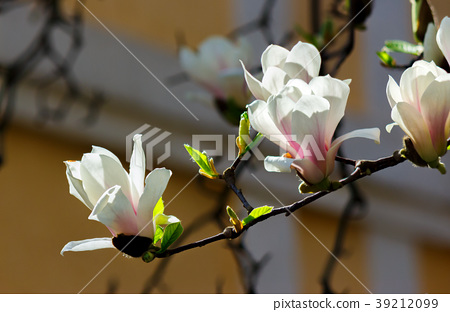 beautiful flowers of white magnolia 39212099