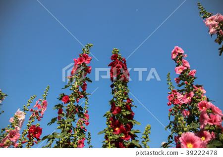 蜀葵花季在台灣彰化 39222478