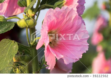 蜀葵花季在台灣彰化 39222502