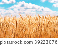 gold ears of wheat against the blue sky and clouds 39223076