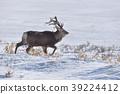 에조사슴, 북해도사슴, 뿔 39224412