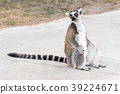 Close Up portrait Of Ring Tailed Lemur 39224671