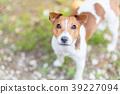 개, 강아지, 잭러셀테리어 39227094