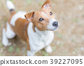 Dog looking up Jack Russell Terrier 39227095