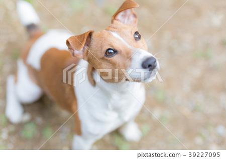 查尋傑克羅素狗的狗 39227095