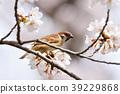small, bird, sparrow 39229868