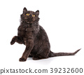 A playful black kitten on a white background. 39232600