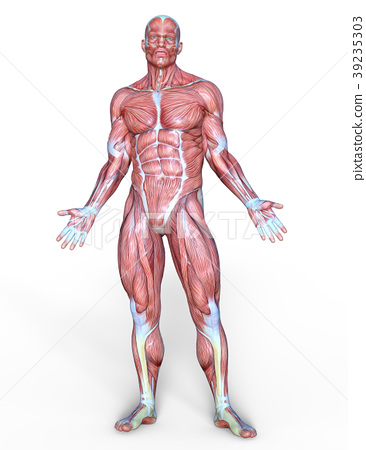 Anatomical Model Of The Human Body Pose Posing Stock