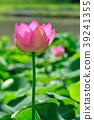 꽃, 연꽃, 개화 39241355