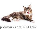 Cat portrait, Maine coon 39243742