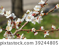 Apricot blossom flowers in spring 39244805