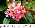 plumeria flower blossom 39250411