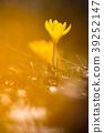 꽃 - 크로커스 39252147