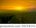 Vineyard Sunrise in Bordeaux Vineyard, Gironde 39258141