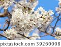 樱花 樱桃树 樱花盛开 39260008