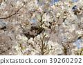 樱花 樱桃树 樱花盛开 39260292