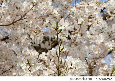 cherry blossom, cherry tree, yoshino cherry tree 39260292
