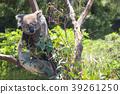 Australian Koala Bear sleeping on tree 39261250