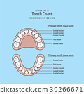 Tooth Chart Primary teeth illustration vector 39266671