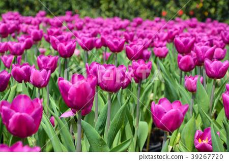 令人愉快的香,玫瑰花,甜花,草本香,香,深紅色的花,紫香 39267720