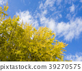 ginkgo, ginko tree, gingko 39270575