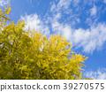 은행나무, 단풍, 가을 39270575