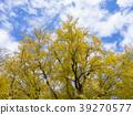은행나무, 맑은 하늘, 청천 39270577