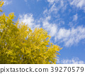 ginkgo, ginko tree, gingko 39270579
