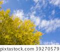 은행나무, 푸른 하늘, 파란 하늘 39270579