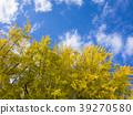 은행나무, 가을, 아름답다 39270580