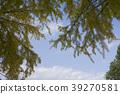 은행나무, 맑은 하늘, 청천 39270581