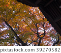 maple, yellow leafe, japan 39270582