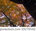 楓樹 紅楓 楓葉 39270582