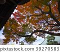 楓樹 紅楓 楓葉 39270583