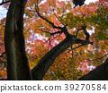 楓樹 紅楓 楓葉 39270584