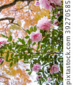 saliva, camellia, japanese camellia 39270585