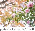 楓樹 紅楓 楓葉 39270586