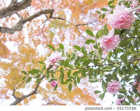 ต้นเมเปิล,คาเมลเลีย,น่ารัก 39270586