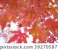 楓樹 紅楓 楓葉 39270587