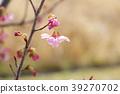 생명의 꽃 (벚꽃 2) 39270702