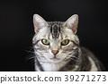 고양이, 아메리칸쇼트헤어, 아메리칸숏헤어 39271273