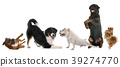 playind dogs in studio 39274770