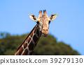 동물, 포유류, 초식 동물 39279130