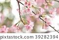 벚꽃 39282394