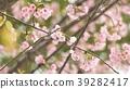 벚꽃 39282417
