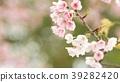 벚꽃 39282420