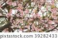 벚꽃 39282433